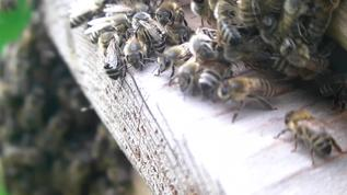 they gather to protect the second queen which decided to leave the hive and form a new swarm and to find a new home