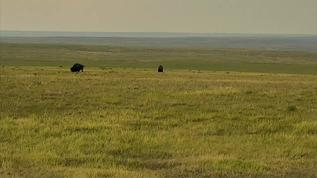 2 bison on calving now