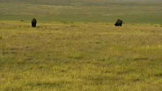 2 bison on calving