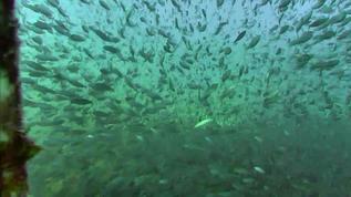 Hundreds of fish