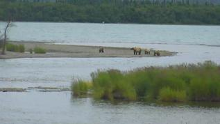 Live right now in Alaska...but only seen through Bear Cam.  Not with my own eyeballs.