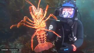 Chanel Is Ca spiny lobster