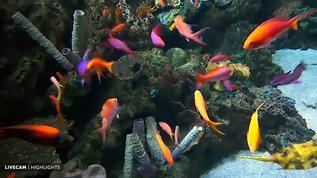 wrasse and anthias tropical fish