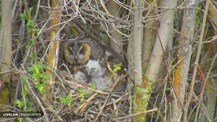 Long Eared Owl and young...