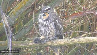 Owl with prey