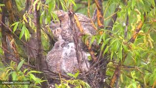 Owl preening chicks