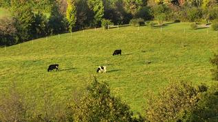 Cattle in the far pasture