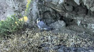 hello beautiful falcon