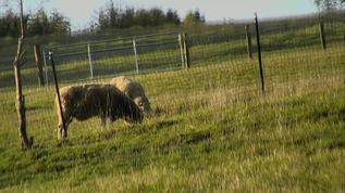 Sheepies enjoying their ealy morning walks