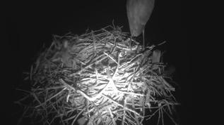Looks like a GBH standing on the nest 5:00 AM ET.