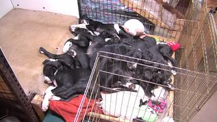 A perfect puppy pile of Danes. I love them!