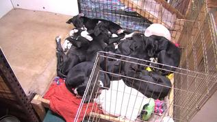 A perfect puppy pile of 8 sleeping Danes.