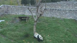 Wu Jun scent marking the tree.