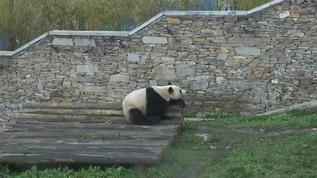 Zi Yan taking a rest WG cam Yard A2