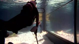 Most people are shocked to see a diver in the exhibit but in fact they aren't even interested in checking out the divers. They are so well fed that they can be kept in an exhibit teeming with fish and not bother a single one. The divers also hold long pol