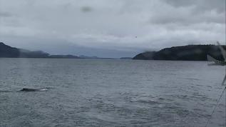 Cracroft Point  Humpback