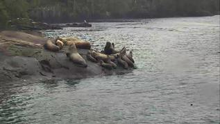 A few sea lions on the rock beach 11-17-17