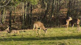 sunshine on deer!