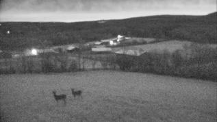 Dawn deer.