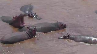 Upside down hippo
