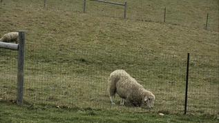 Sometimes it's easier to kneel to eat when you're a senior sheep