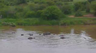 A nice group of hippos 11-19-17