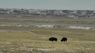 The bison on the right is not touching his right rear leg to the ground.  Achilles?