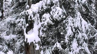 Still heavy snow on the boughs.