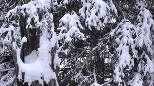 Snow deeper in nest tree.