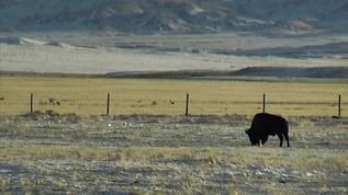 Bison and pronghorn
