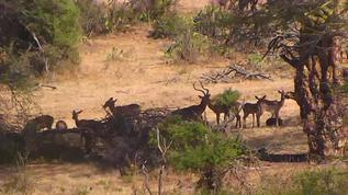 Impala herd. The male spotted with magnificent horns