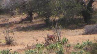 Impala in the thickets.