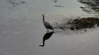 Mr Great Blue Heron standing on guard