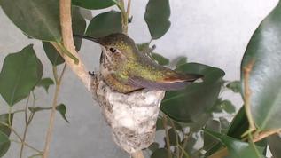 One beautiful Hummingbird!