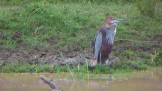 Juvenile Goliath Heron.
