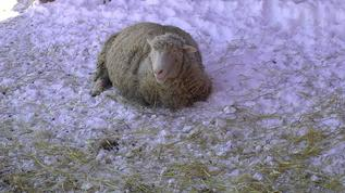 A perfect place to be - fresh air, nice snow bed and wisps of straw to munch on!