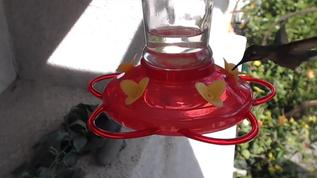 Look at this picture of a sweet Anna's testing out the feeder!