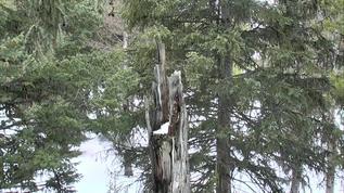 I hear Great Gray Owl Hoots!