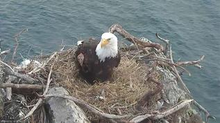Two Harbors Bald Eagles 03-18-18. You are looking good, K82. Please give us an egg or two...