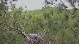 I really don't know anything about herons, but I do know this cam is calming to me:-)