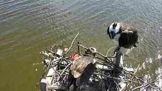 Osprey Nest - C. C. 03-24-18. Audrey supervising...