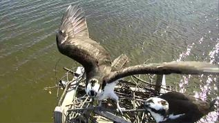 Osprey Nest - C. C. 03-24-18