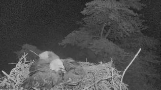 Fascinating that he stayed all night, eagles amaze me!
