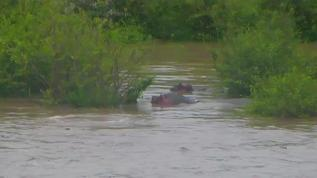 Hippos staying in the shallows