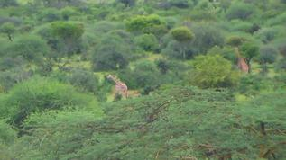 Lush landscape,and oh yeah Giraffes !