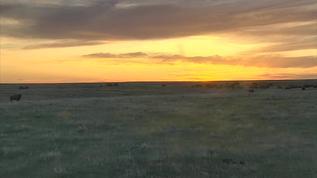** Bison swarm the prairie at sunset