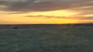 Bison swarm the prairie at sunset
