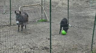 Baby donkey Rosebud playing with a ball