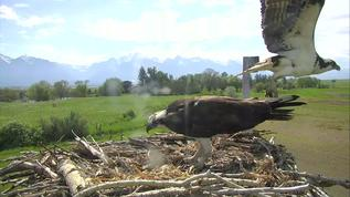 11:06am Charlotte takes over on the nest, and Charlie takes off...