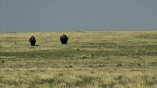bison approaching the camera
